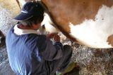 Così si mungono le mucche